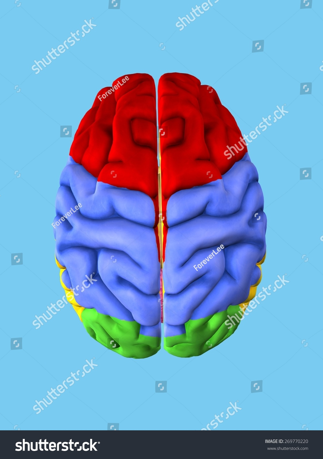Regions Brain View Top Featuring Frontal Stock Illustration ...