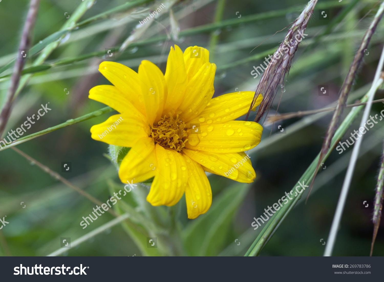 Yellow Daisy Flower Stock Photo Edit Now 269783786 Shutterstock