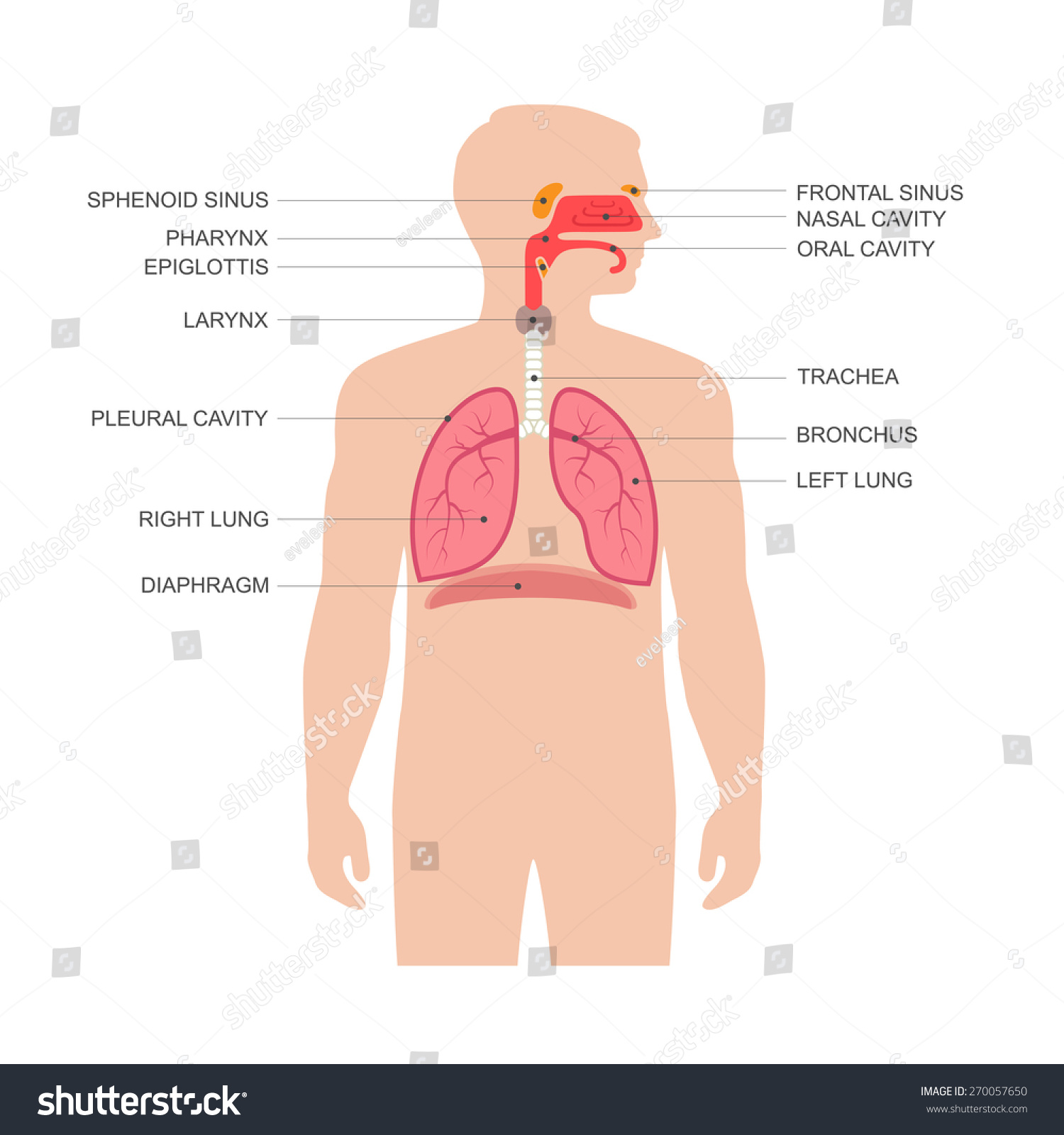 Human Respiratory System Anatomy Vector Medical Stock Photo Photo