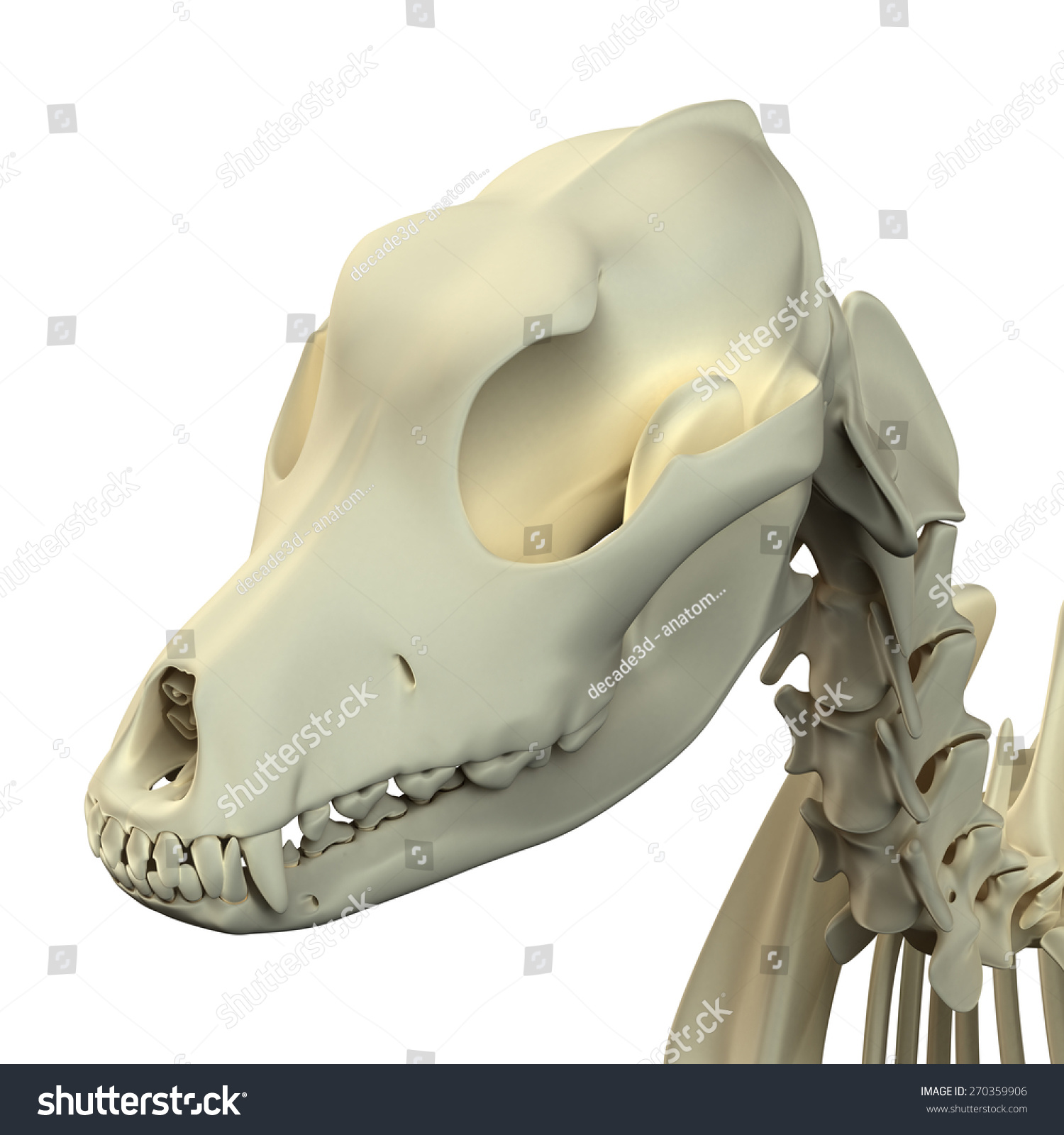 Dog Skull Anatomy Stock Illustration 270359906 - Shutterstock