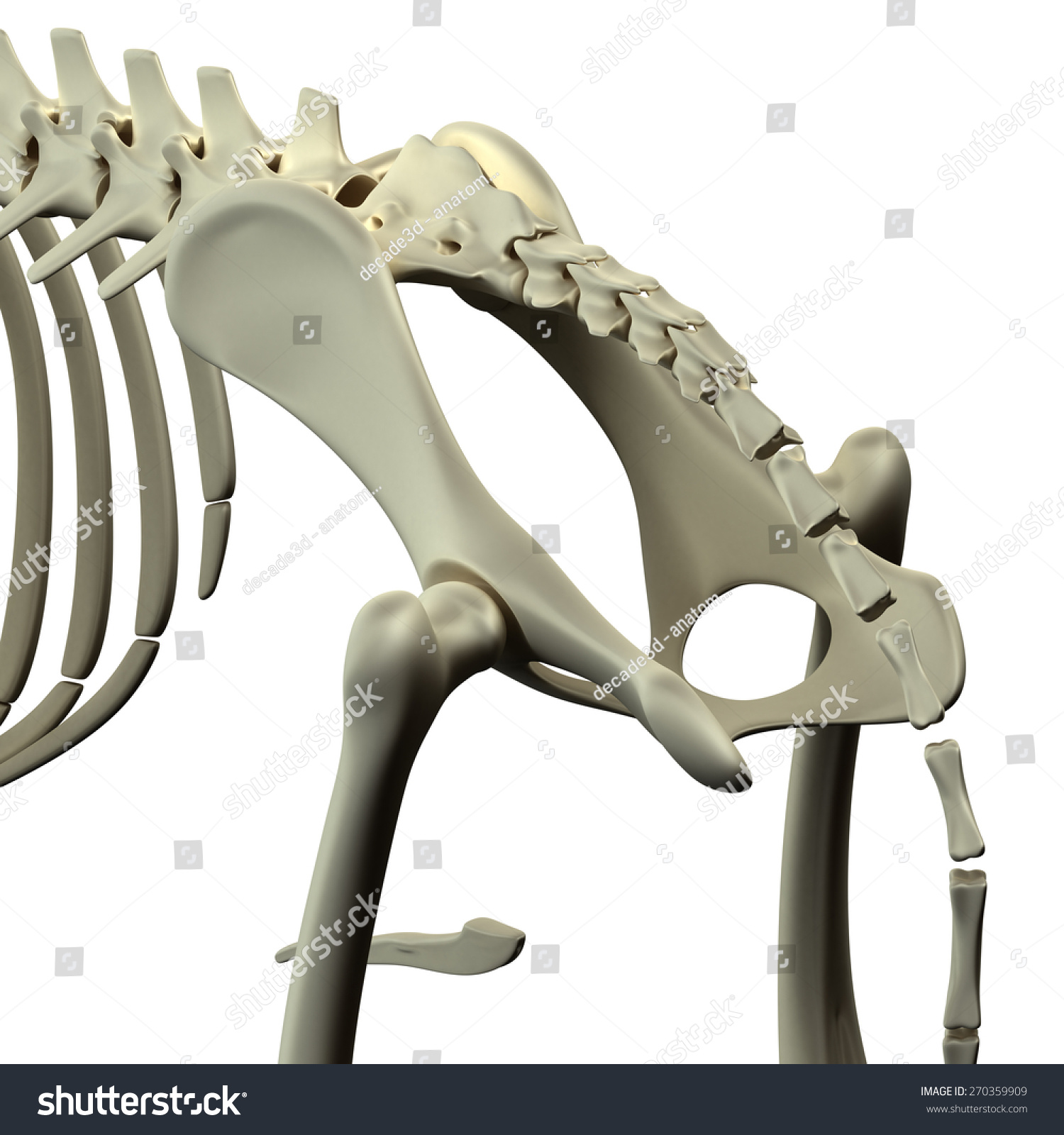 Dog Pelvis Hip Anatomy Stock Illustration - Royalty Free Stock ...
