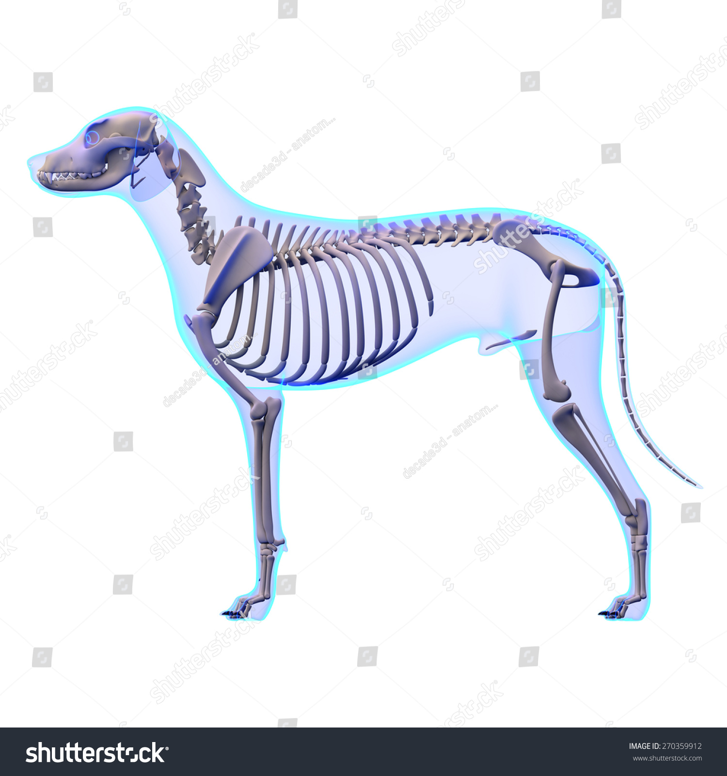 Royalty Free Stock Illustration of Dog Skeleton Anatomy Stock ...