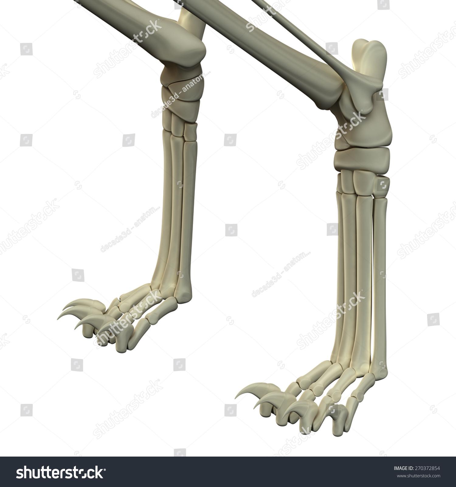 Cat Front Legs Anatomy Bones Stock Illustration 270372854 Shutterstock