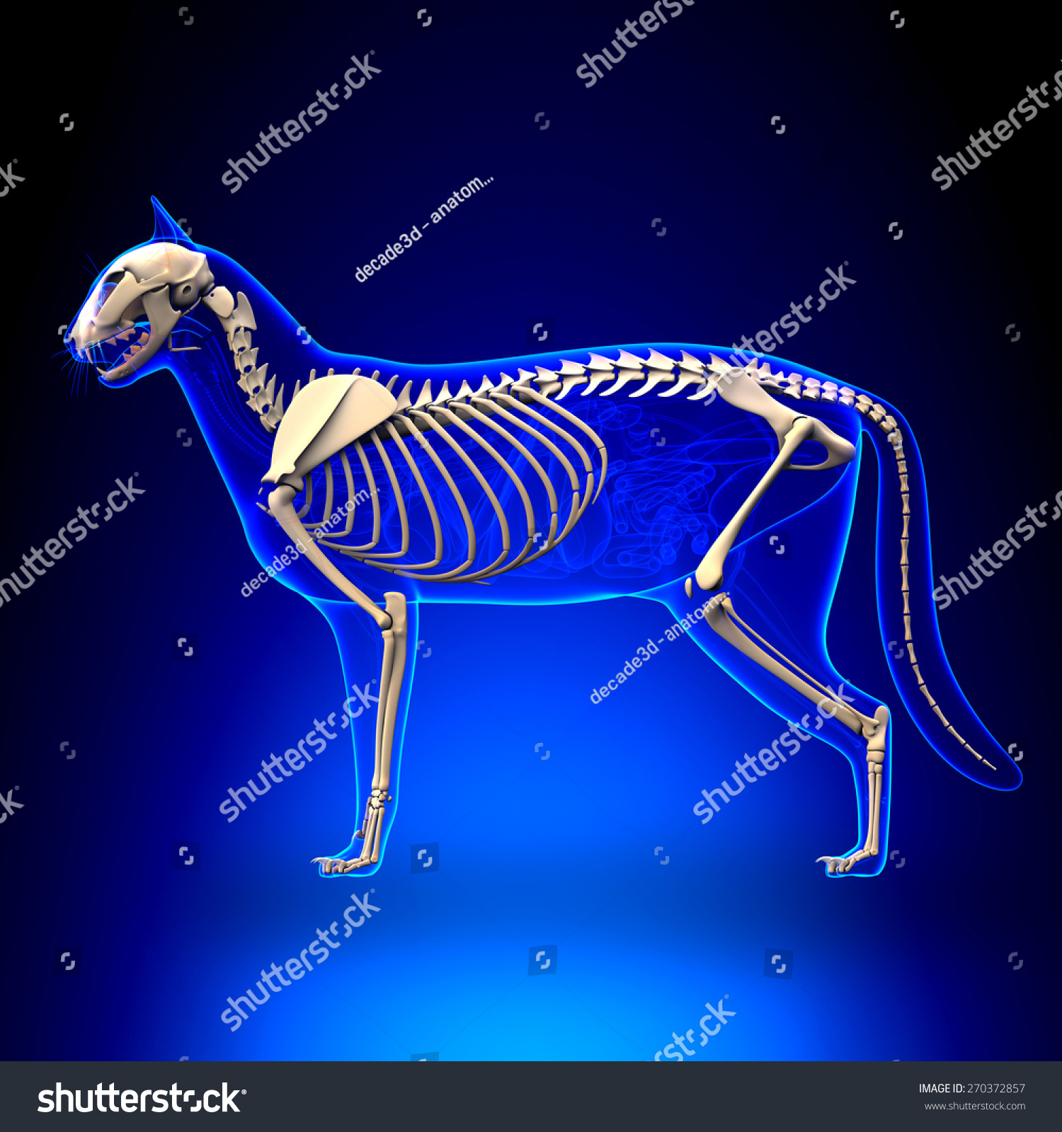 Cat Skeleton Anatomy Stock Illustration 270372857 - Shutterstock