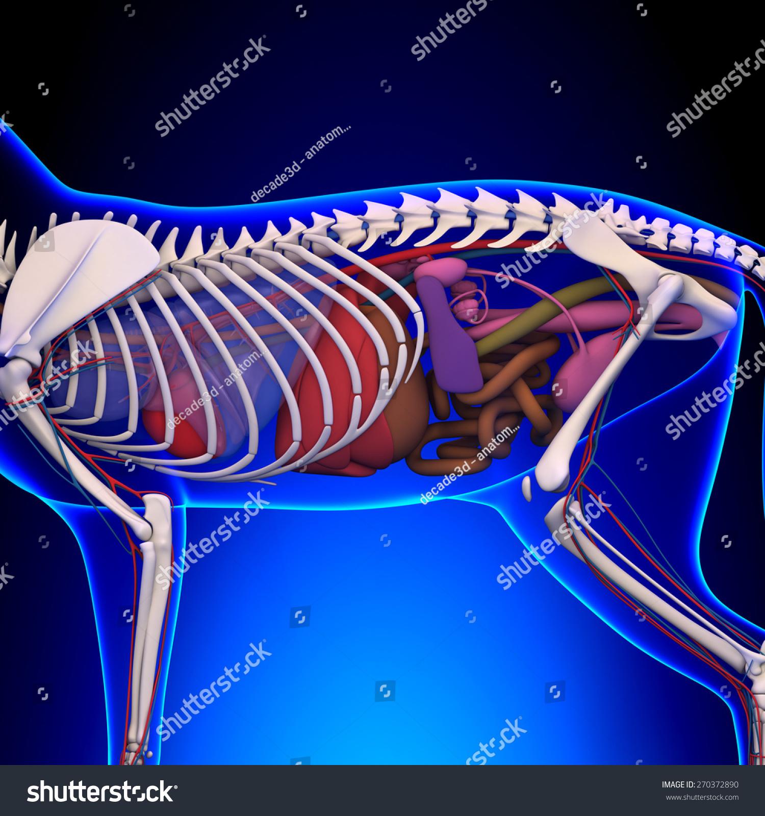 Cat Internal Organs Anatomy Skeleton Stock Illustration 270372890 ...