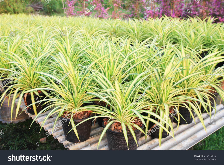 the pots of chlorophytum comosum for sale spider plants stock photo 270418913 shutterstock. Black Bedroom Furniture Sets. Home Design Ideas