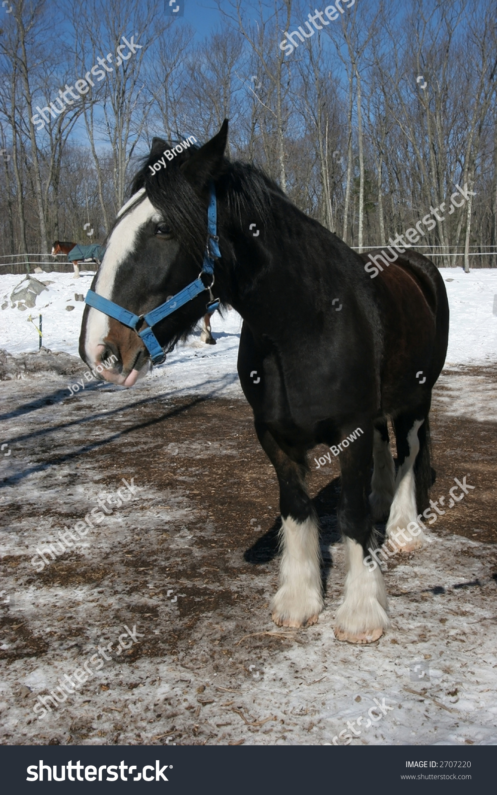 Beautiful Clydesdale Horse Stock Photo Edit Now 2707220