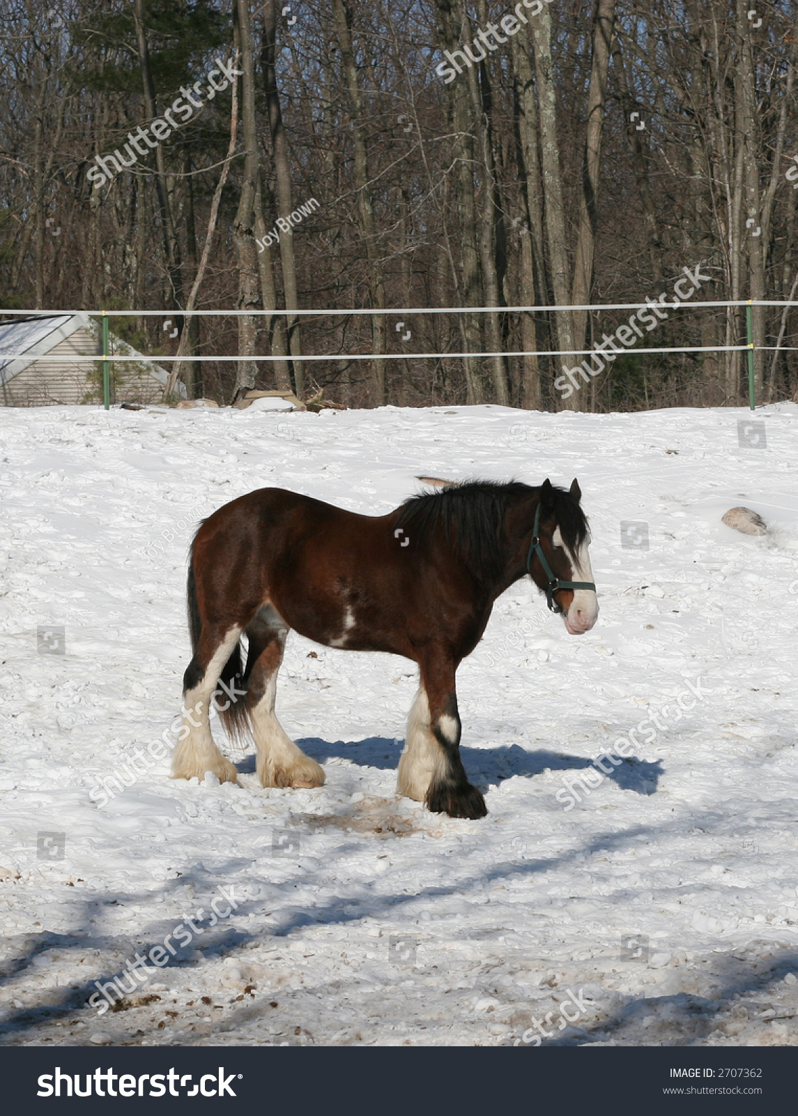 Beautiful Clydesdale Horse Stock Photo Edit Now 2707362