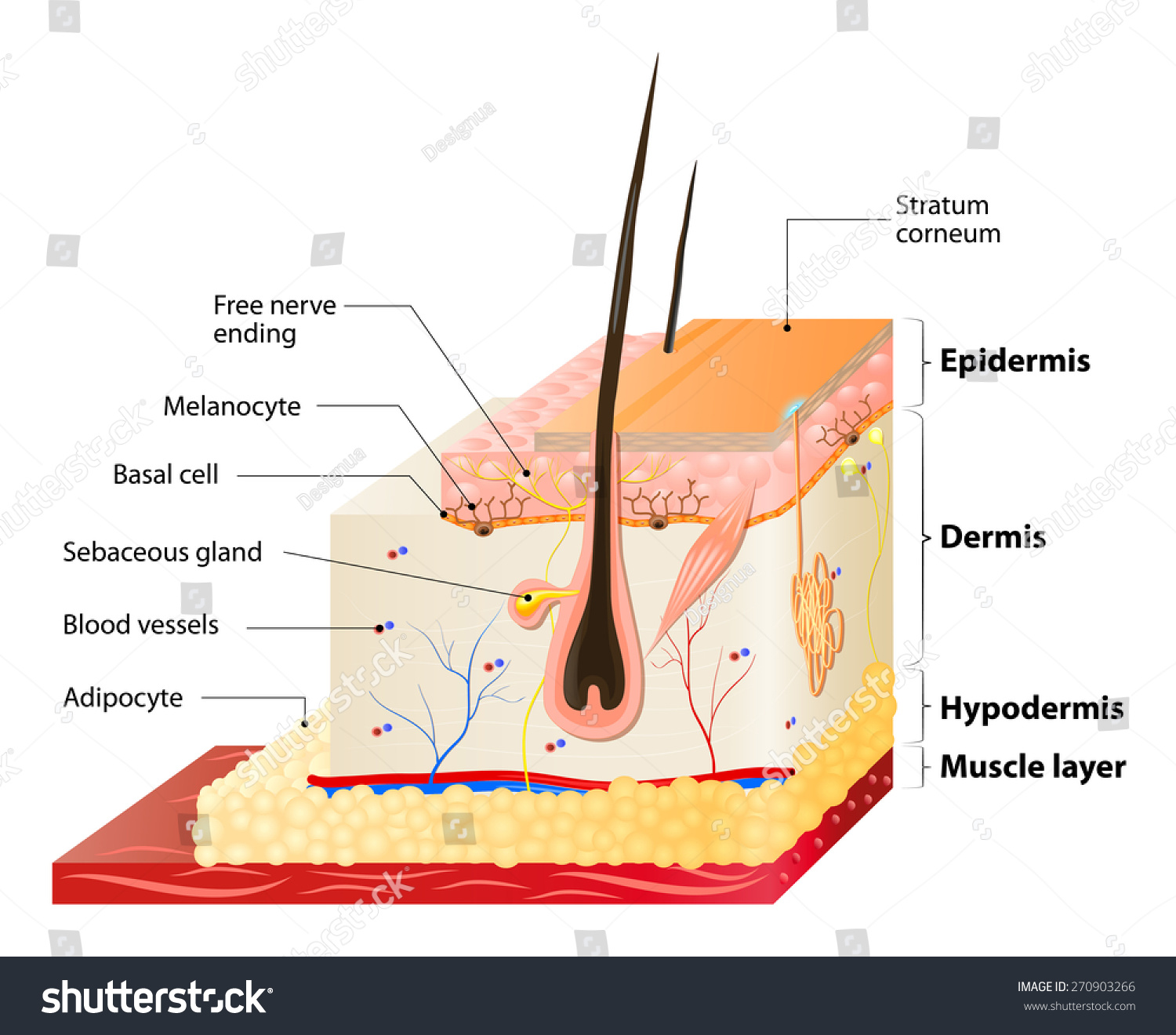Layers human skin epidermis horny layer stock illustration layers of human skin epidermis horny layer and granular layer dermis pooptronica Image collections