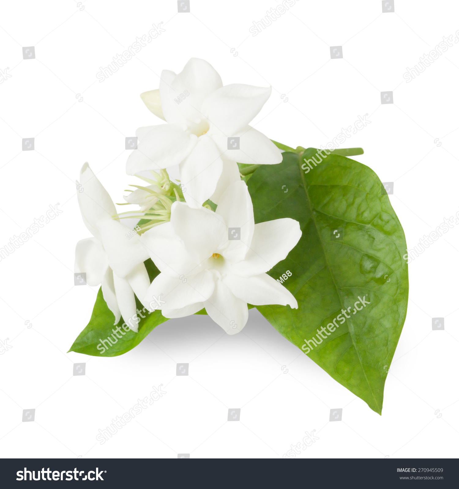 Jasmine Flower Isolated On White Background Stock Photo
