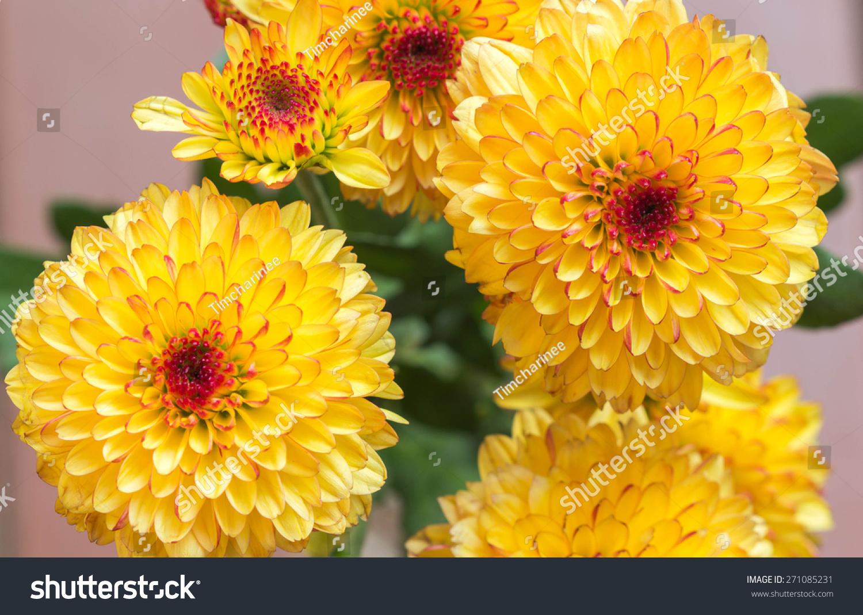 Yellow Mum Flowers Stock Photo Edit Now 271085231 Shutterstock
