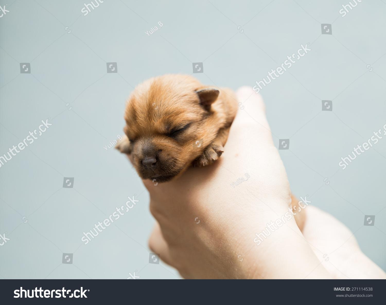 Newborn Puppy Norfolk Terrier Caring Female Stock Photo Edit Now