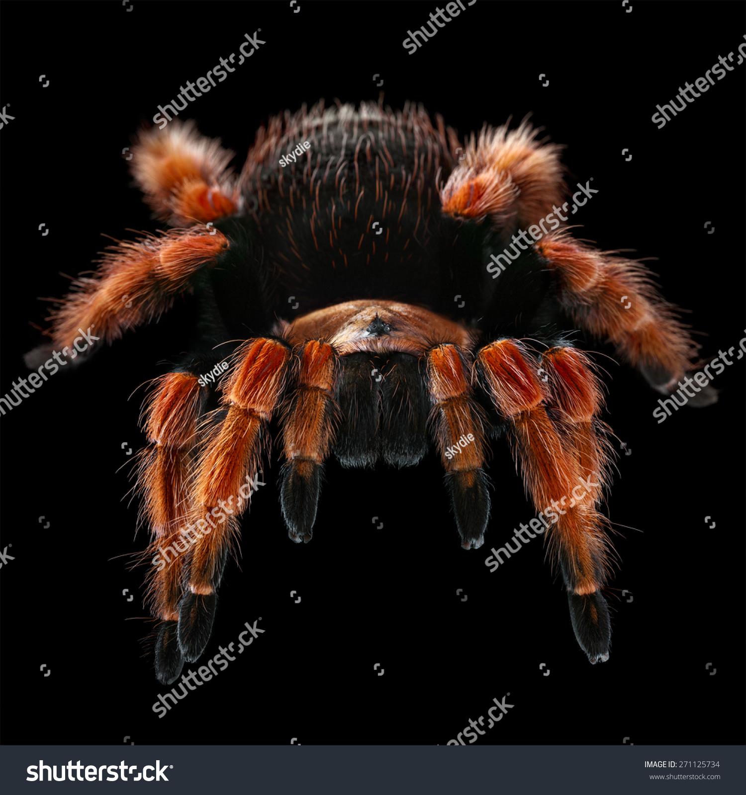 boehmei tarantula size