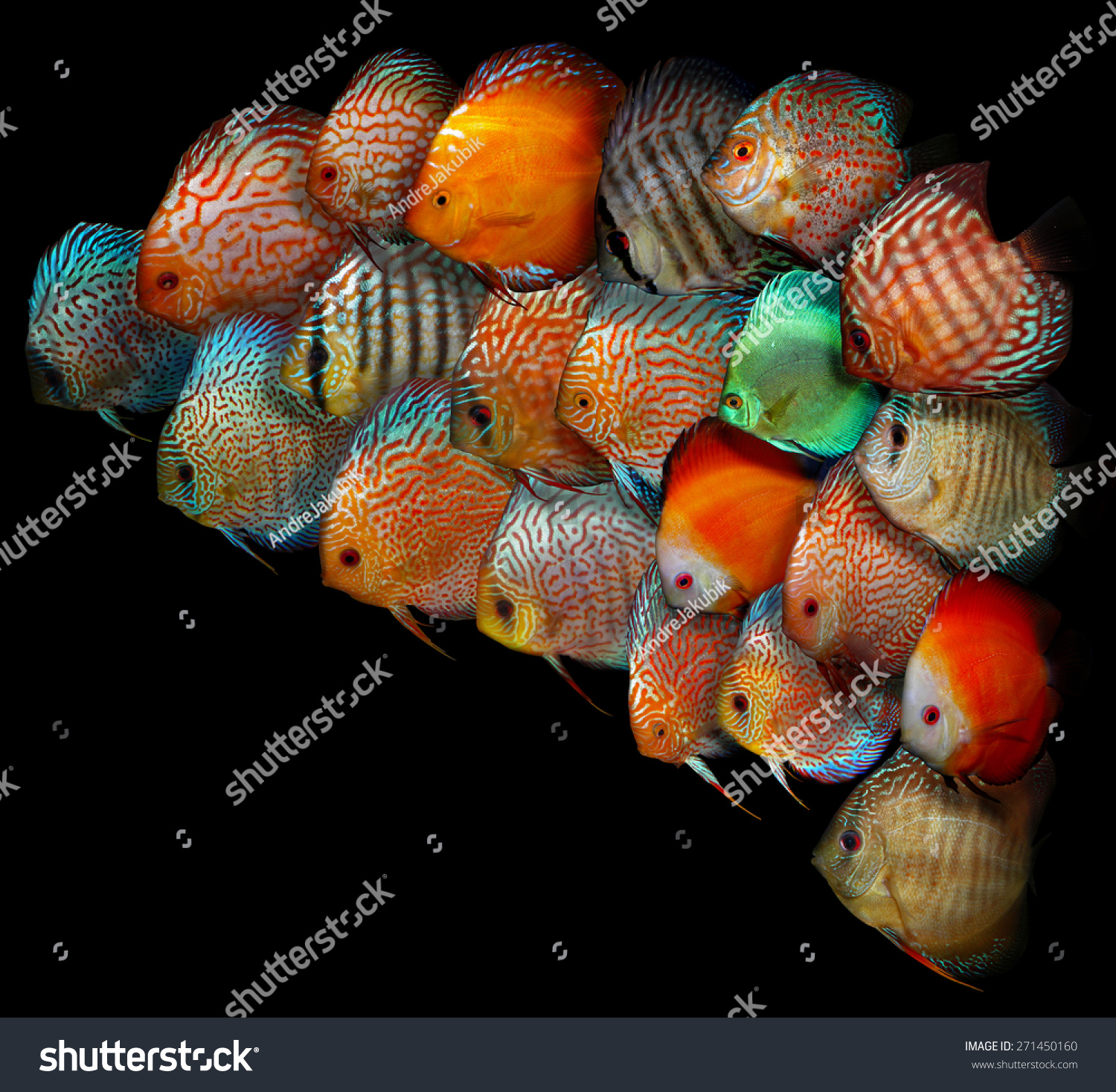 Symphysodon aequifasciatus blue discus aquarium fish south for Fish in the amazon