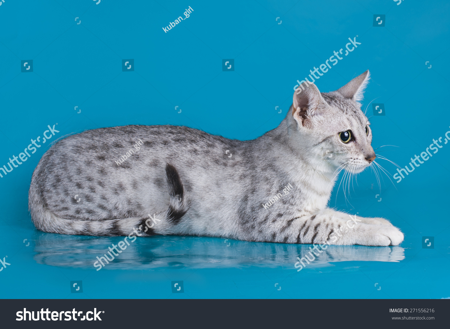 Egyptian Mau Kitten Isolated Colored Stock