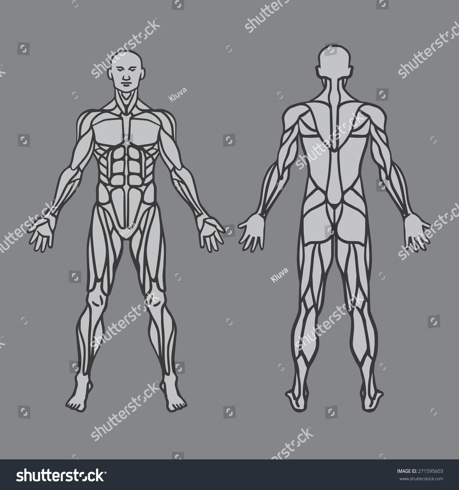 Anatomy Male Muscular System Exercise Muscle Stock Vector Royalty