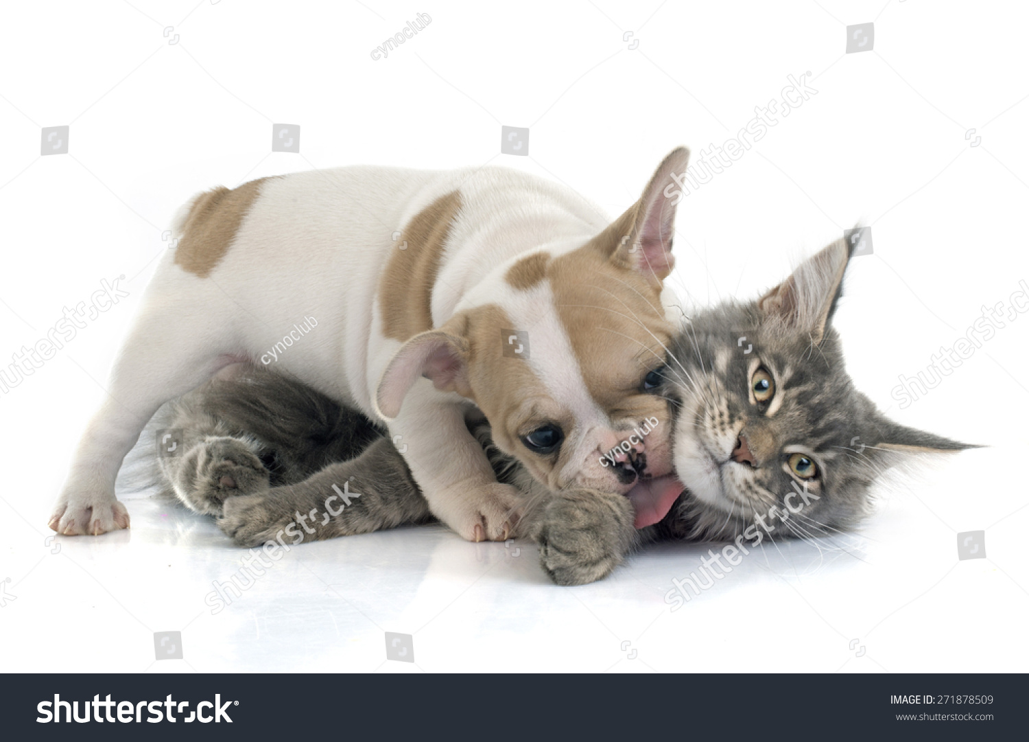 french bulldog maine puppy french bulldog and maine coon cat in front of white 734