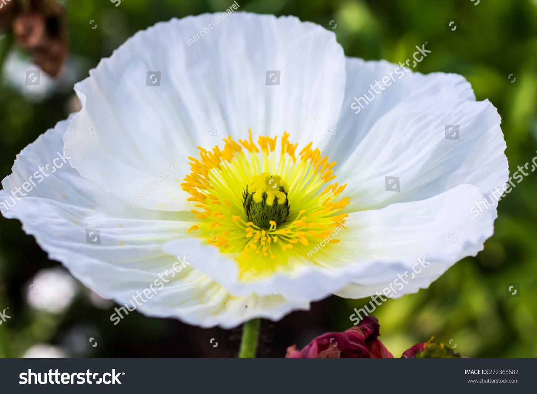 White Poppy Flower Close Up Shot Ez Canvas