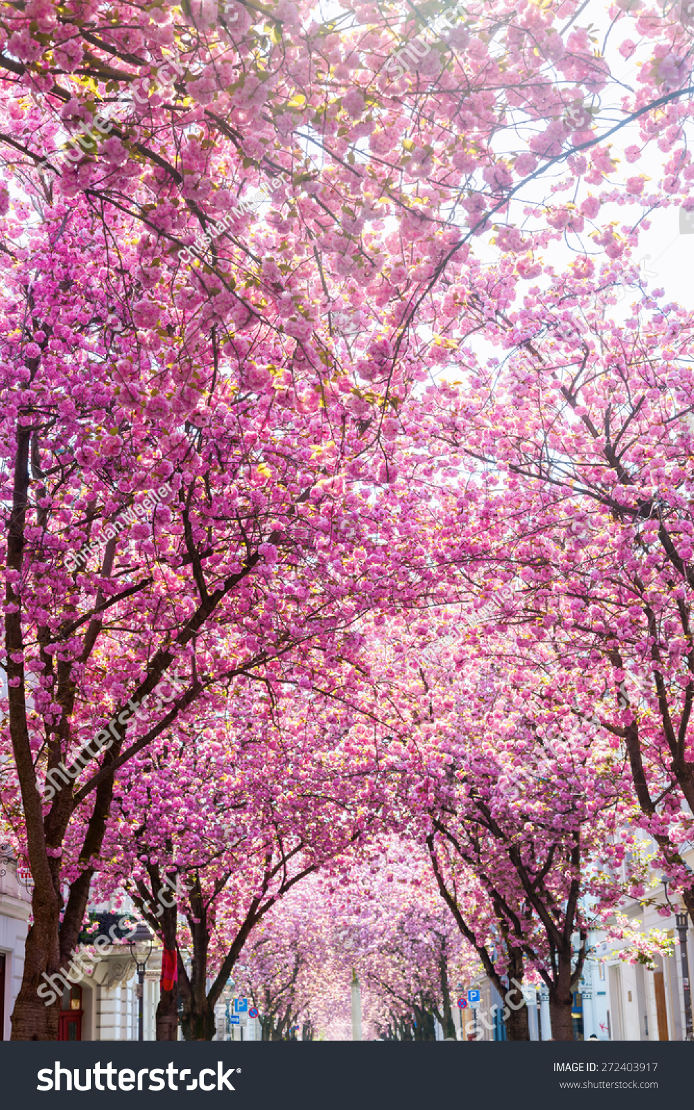 Pink Flowering Cherry Trees Old Town Stock Photo Edit Now
