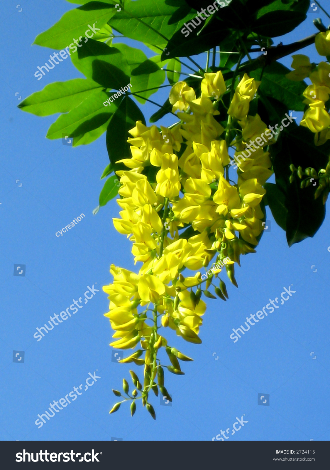 Yellow Hanging Flowers Green Leaves Stock Photo Edit Now 2724115