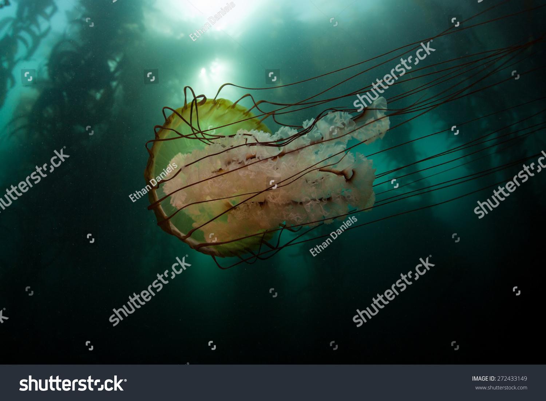 A Lion'S Mane Jellyfish (Cyanea Capillata) Swims Next To A ...