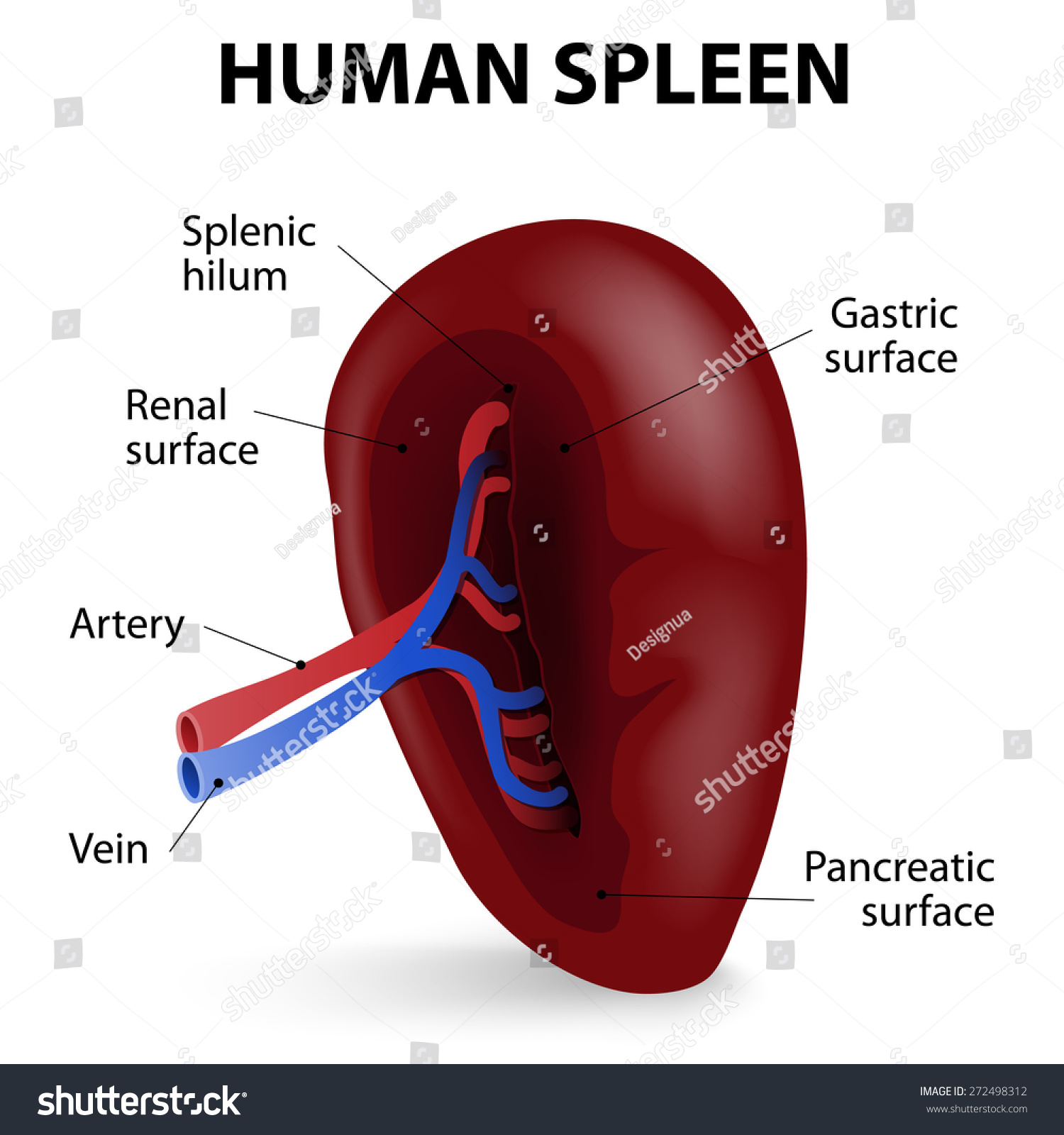Visceral Surface Spleen Spleen Synthesizes Antibodies Stock Vector ...