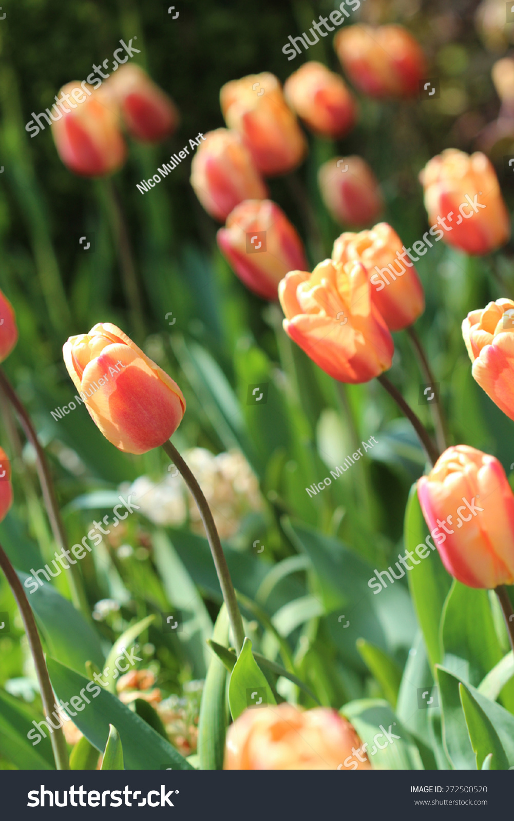 Tulips Other Spring Flowers Bray Co Stock Photo Royalty Free