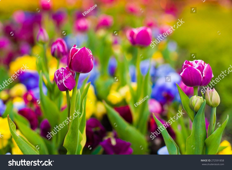 Beautiful Fresh Spring Flowers Pink Tulips Stock Photo Edit Now