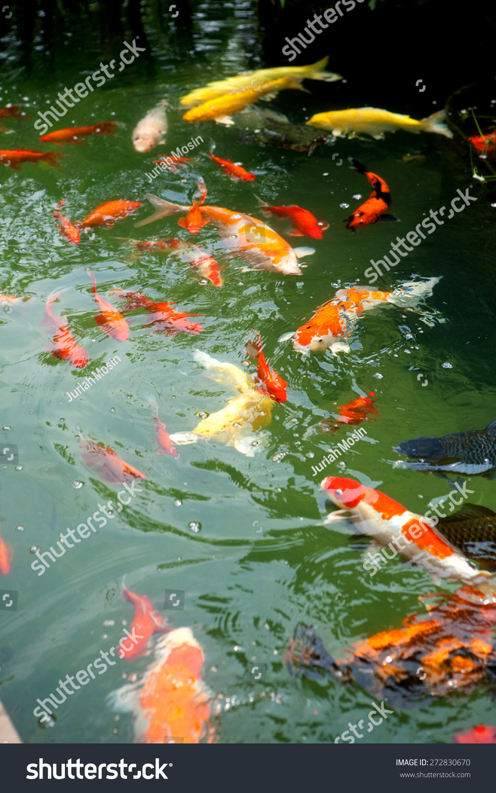 Beautiful ornamental koi fish swimming in pond stock for Ornamental fish for pond