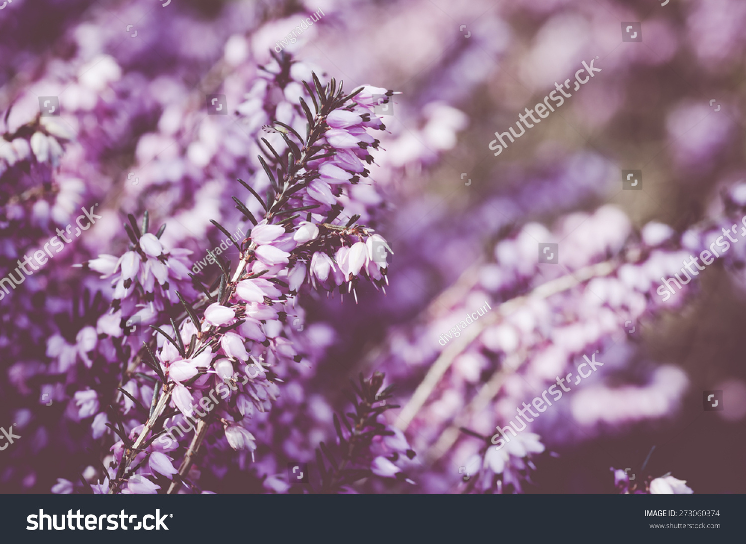 Pink Heather Shrub Inflorescence On A Blurry Background Early