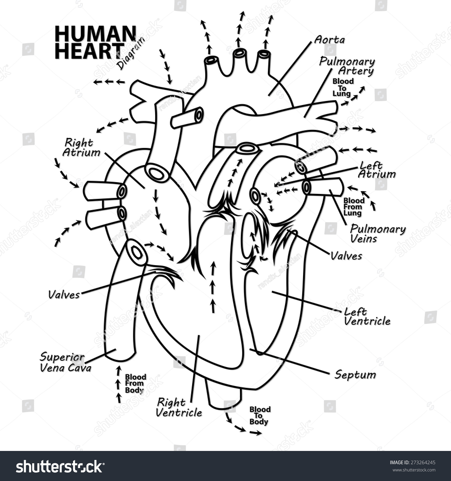 human heart diagram anatomy stock vector 273264245 - shutterstock, Muscles
