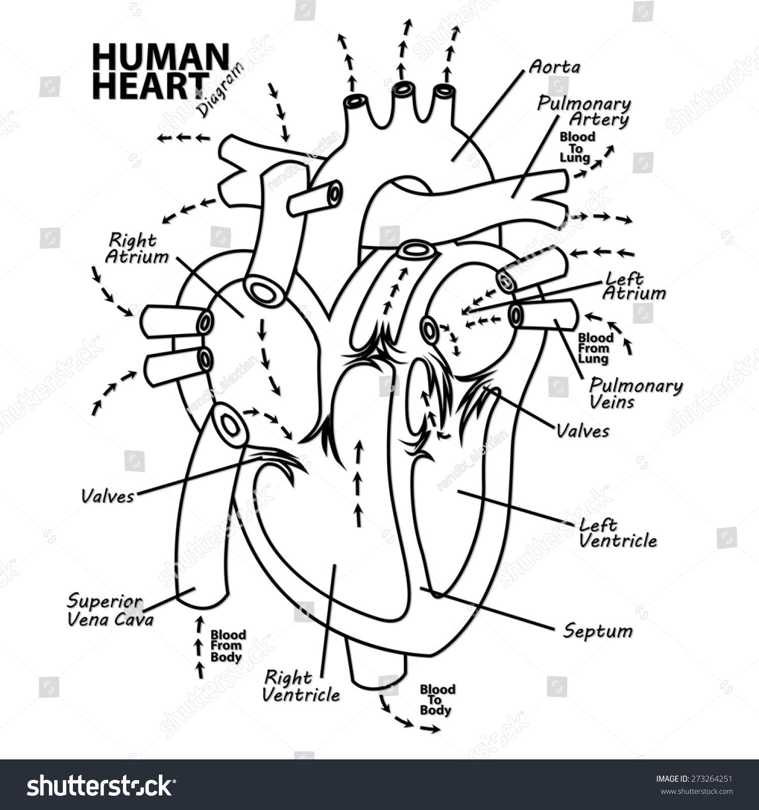 Human Heart Diagram Anatomy Stock Illustration 273264251 Shutterstock