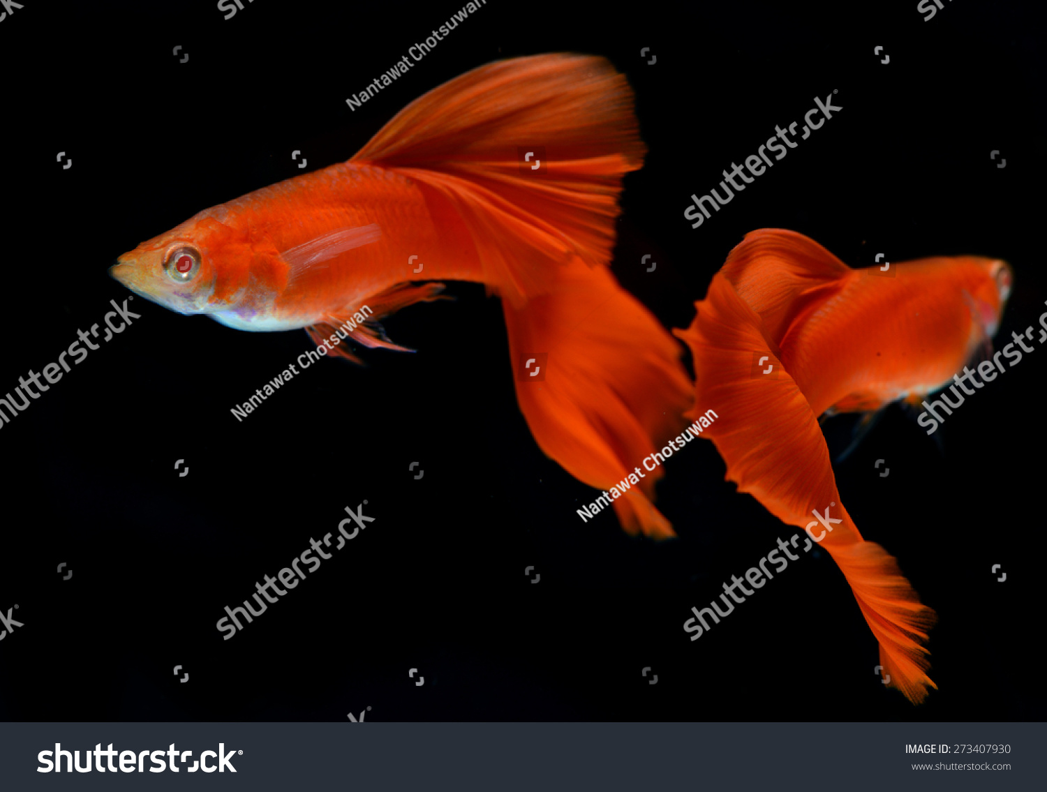 Royalty-free Motion of Albino Full Red Guppy… #273407930 Stock Photo ...