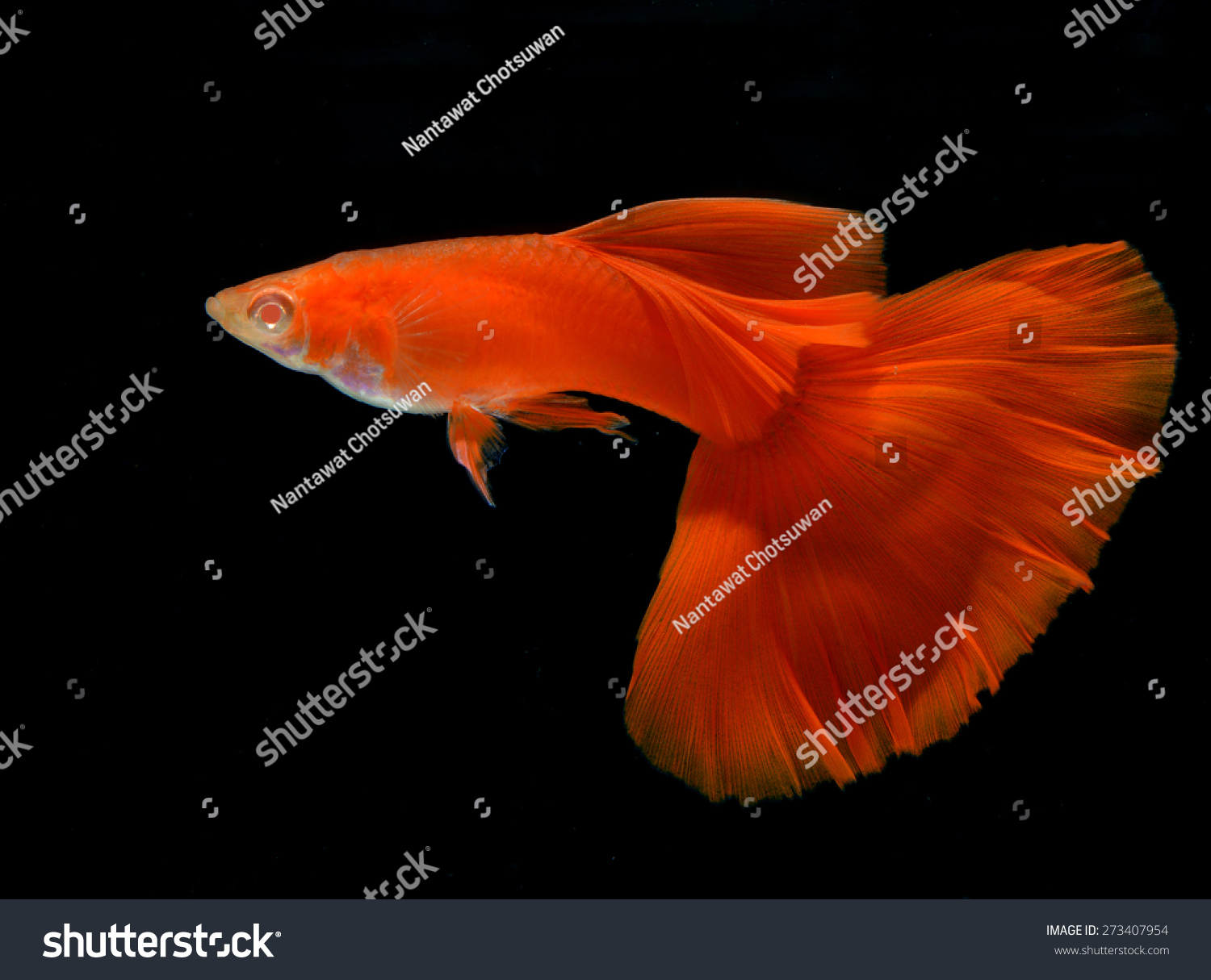 Motion Albino Full Red Guppy Isolated Stock Photo (Royalty Free ...
