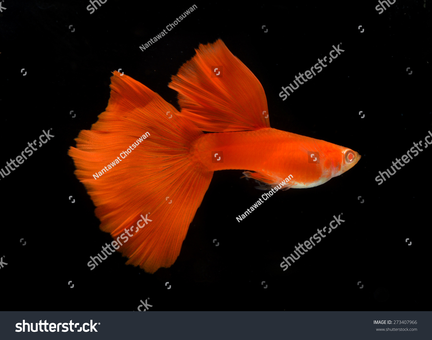 Motion Albino Full Red Guppy Isolated Stock Photo (Safe to Use ...