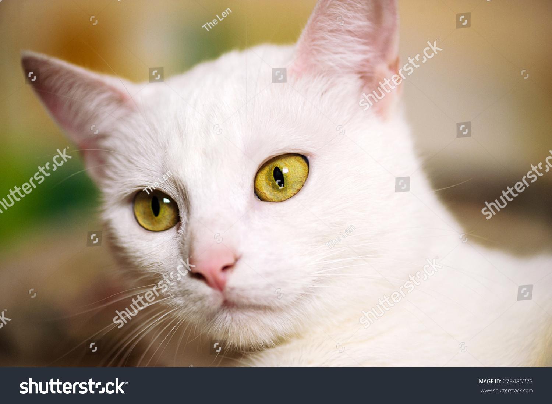 Cute White Cat Stock Shutterstock