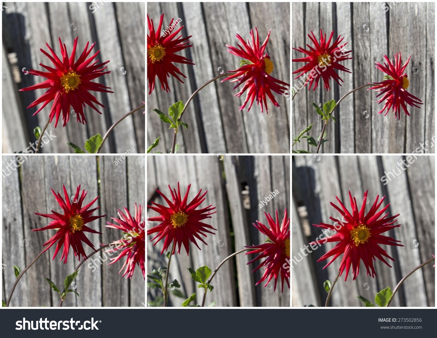 Collage bright red spider dahlia flowers stock photo royalty free collage of bright red spider dahlia flowers growing against a wooden fence a genus of izmirmasajfo