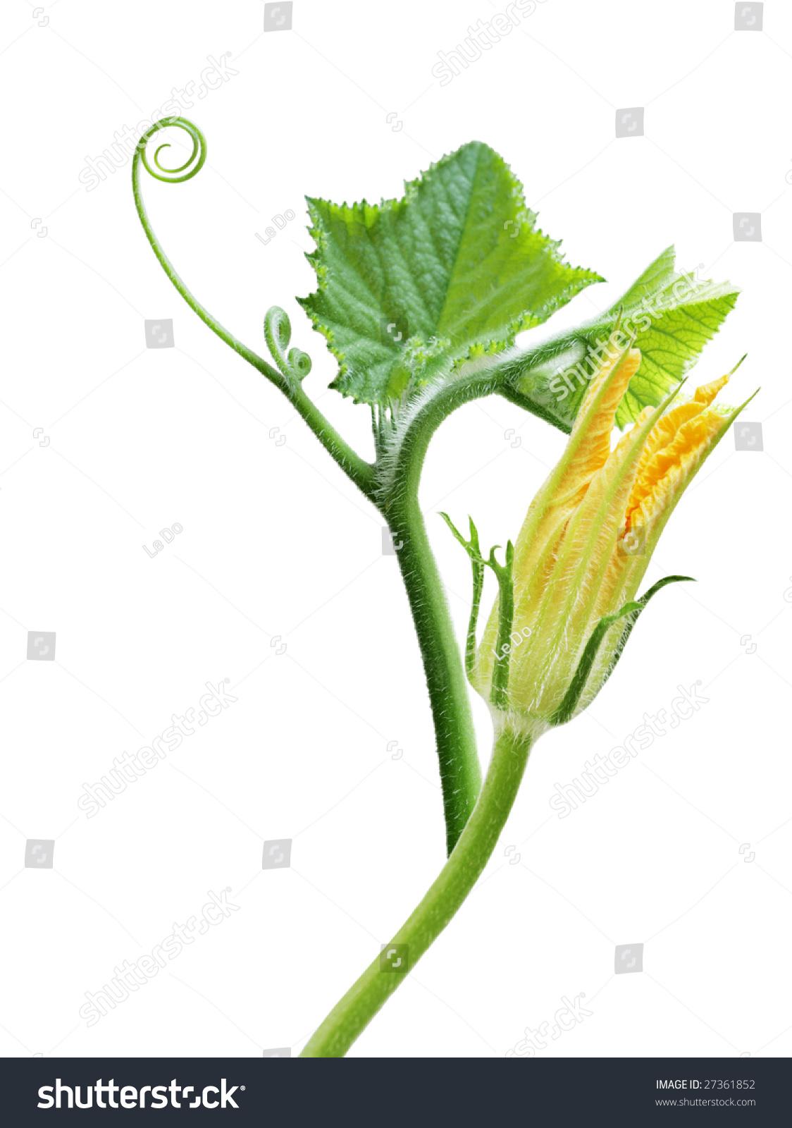 Squash leaves flower isolated on white stock photo edit now squash leaves and flower isolated on white background mightylinksfo