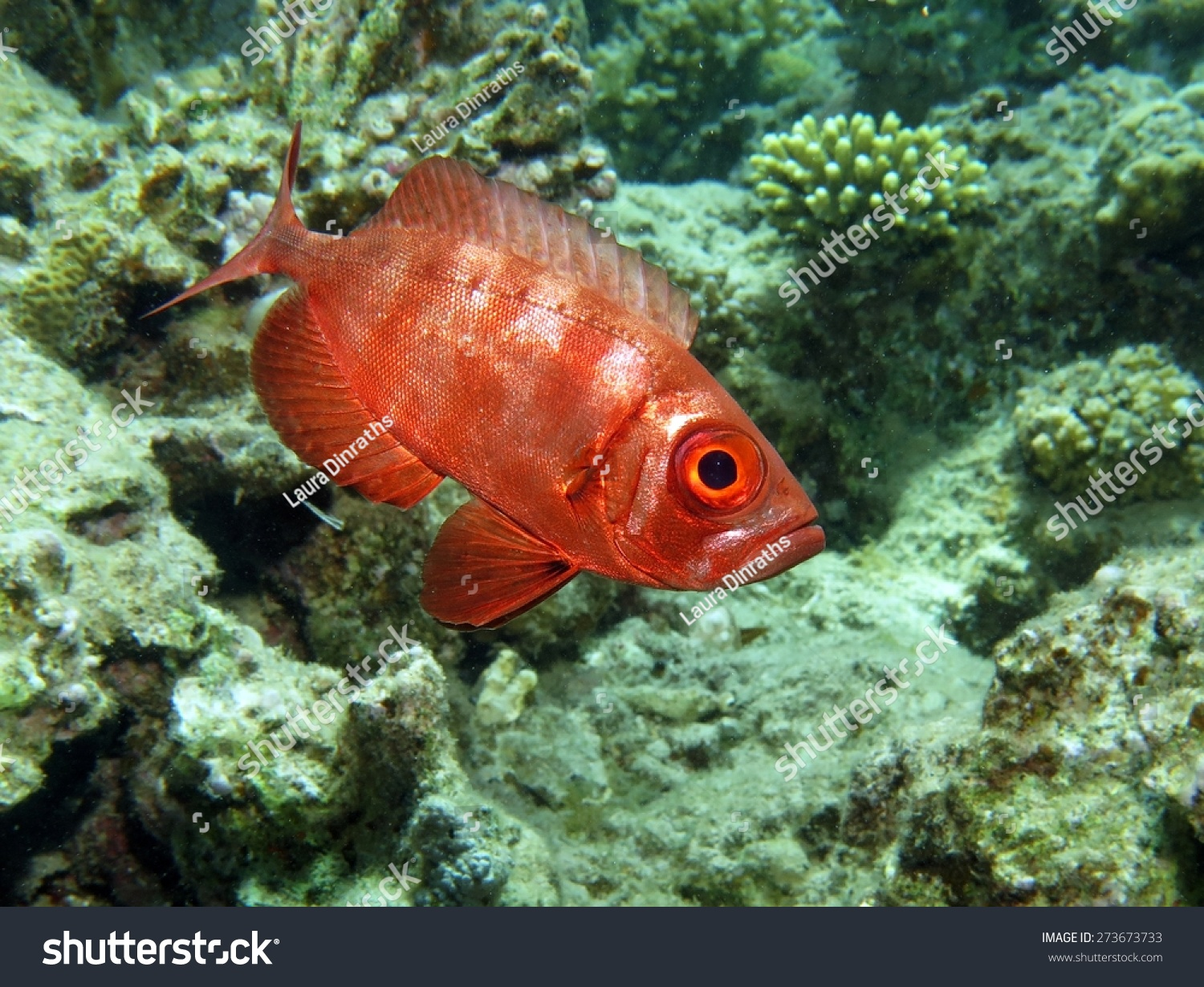 Bigeye Reef Fish By Day Stock Photo (Edit Now)- Shutterstock