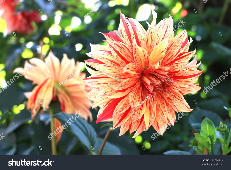 Dahlia Flower Painting Style Garden Stock Illustration 273690881