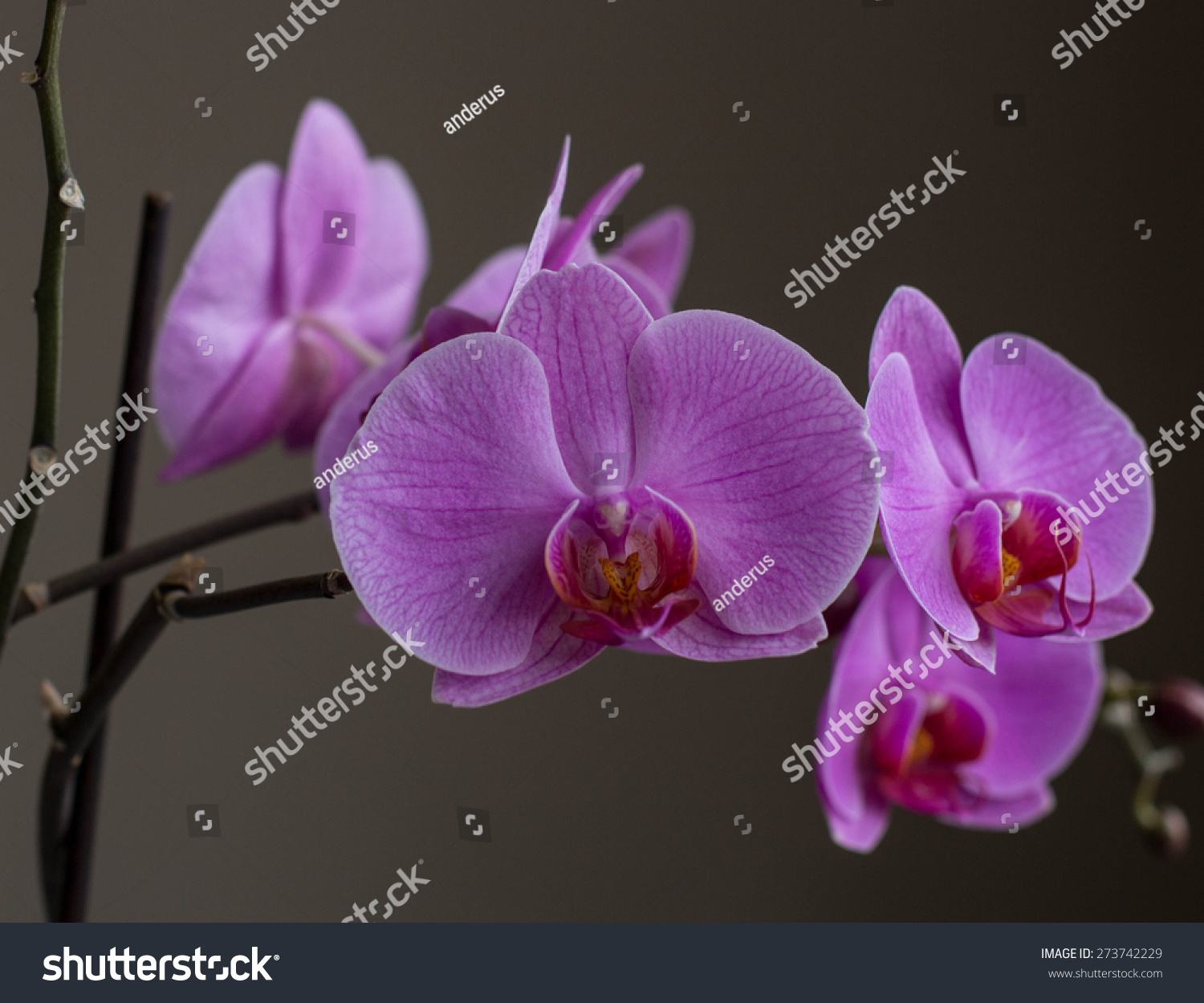 Beautiful flowers blooming orchid closeup stock photo 273742229 beautiful flowers blooming orchid closeup izmirmasajfo Images