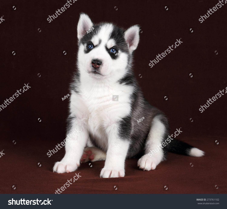 Cute Black White Puppy Blue Eyes Stock Photo Edit Now 273761102