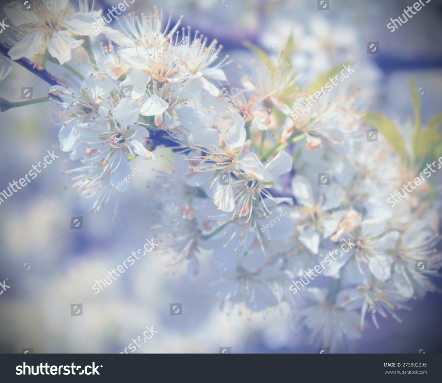Blossoming Tree Beautiful Spring Soft Flowers Stock Photo Edit Now
