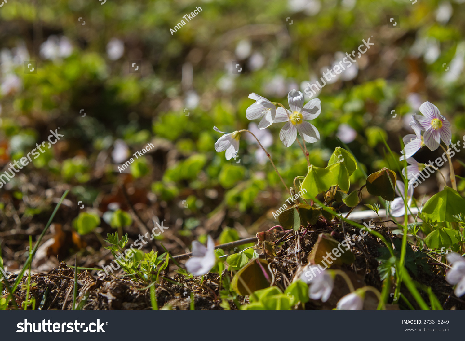 Small White Spring Flowers In A Forest Glade Selective Focus Ez