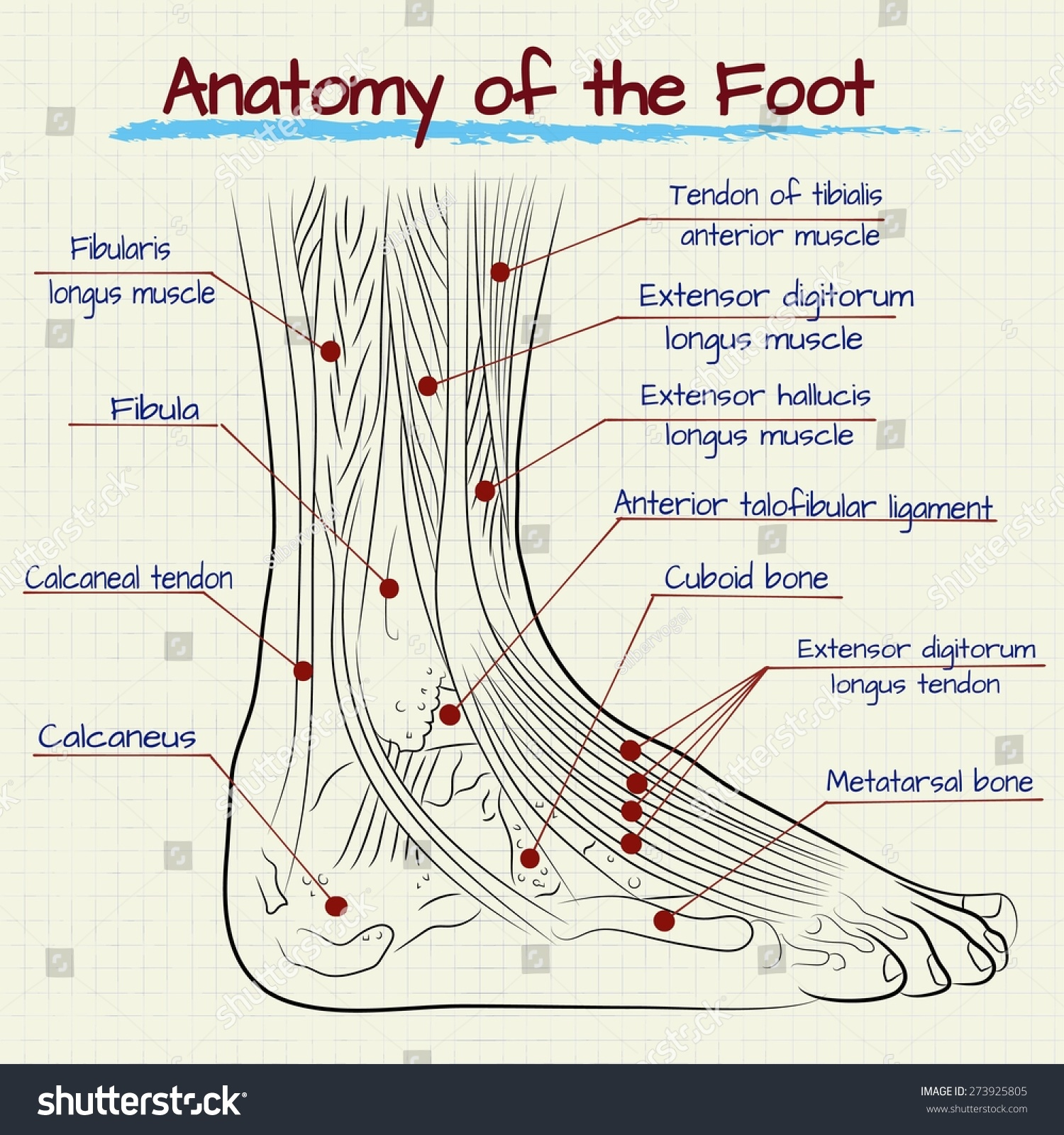 Vector Drawing Anatomy Human Foot Stock Vector Royalty Free