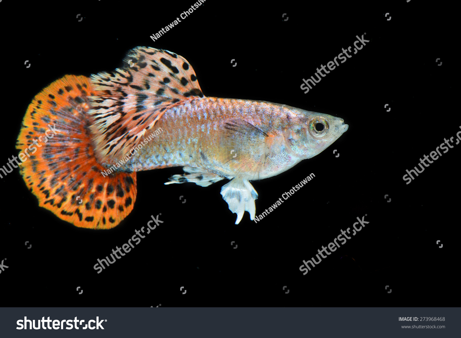 red mosaic round tail guppy isolated stock photo 273968468