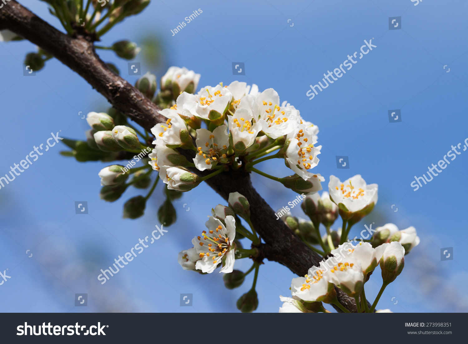 Plum blossoms in spring time