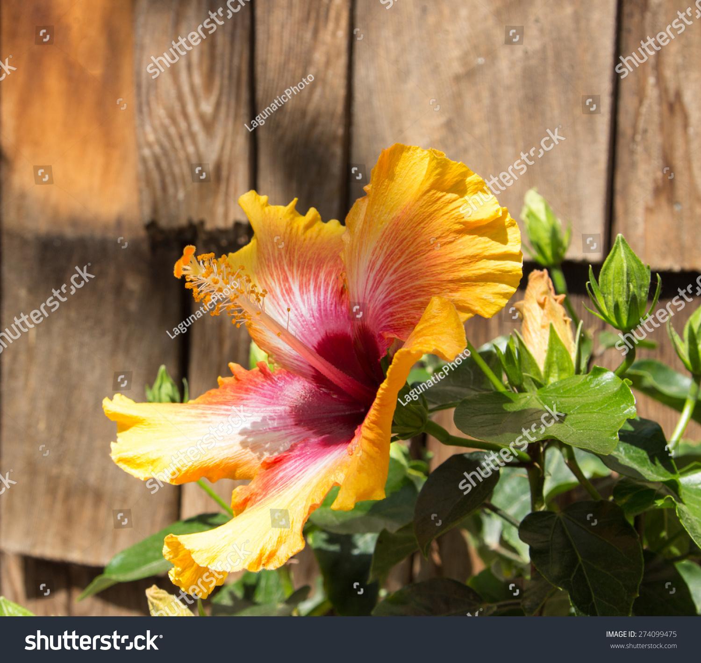 Yellow Red Sunset Exotic Dream Hibiscus Stock Photo (Edit