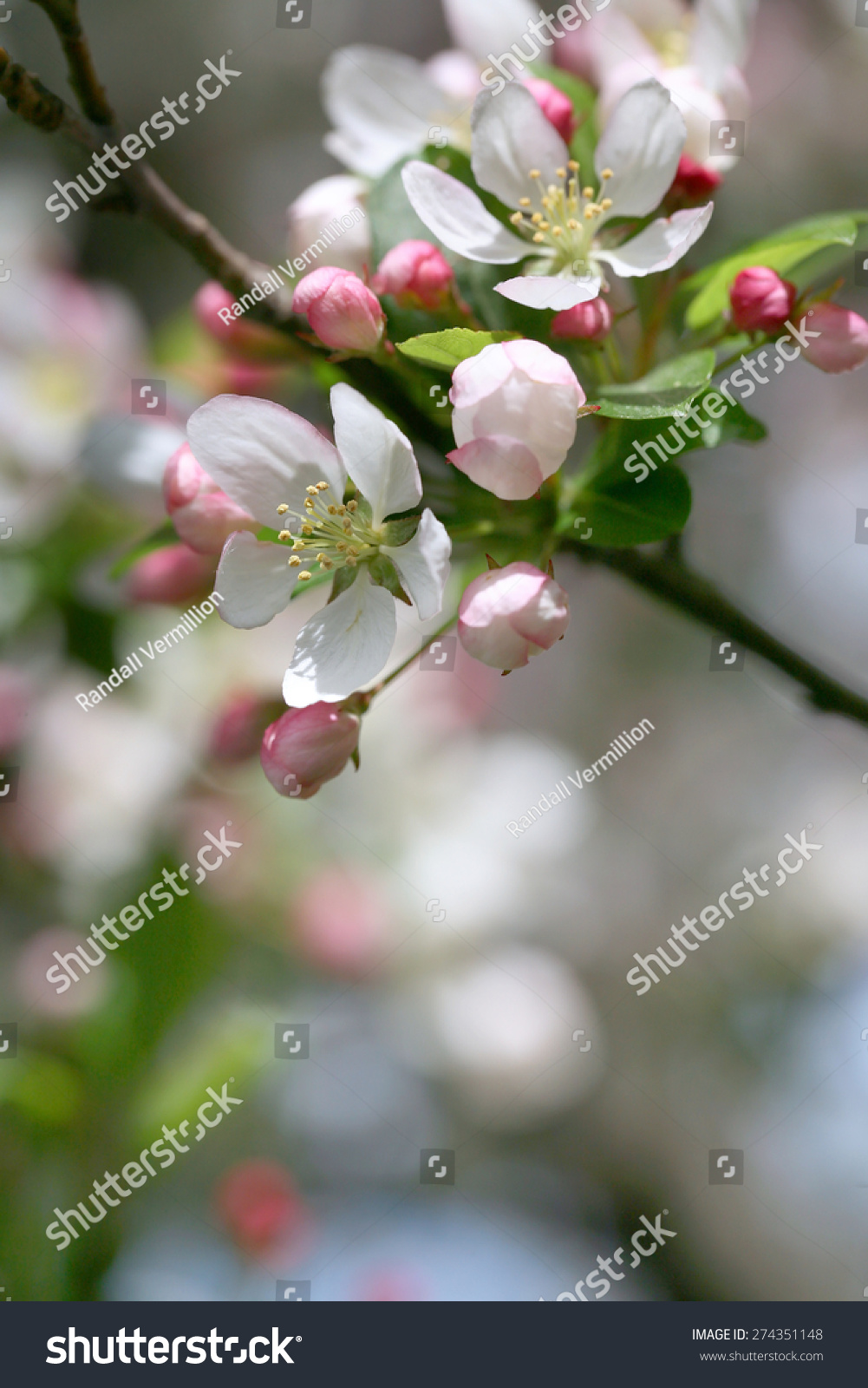 Flowering Crab Apple Tree White Pink Stock Photo Edit Now