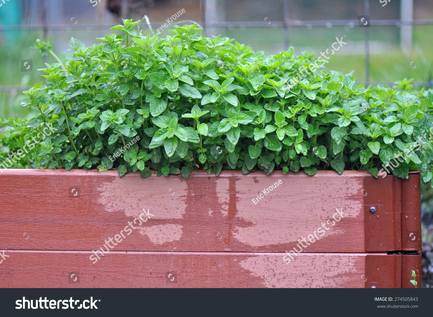 Container Garden With Fresh Mint In Chapel Hill North Carolina Stock Photo 274505843  Shutterstock
